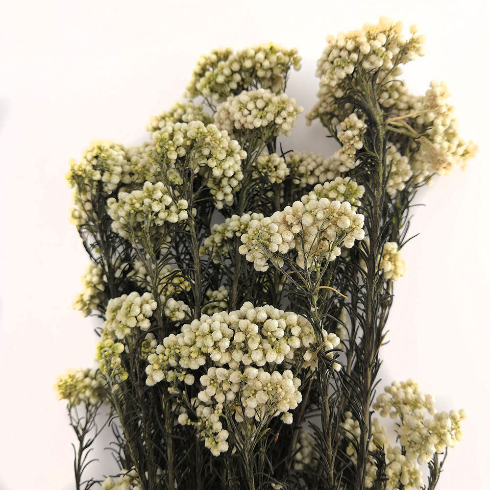 Preserved Rice Flower
